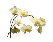 Mooie witte die orchidee, op witte achtergrond wordt geïsoleerd Stock Afbeeldingen