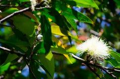 Mooie mooie witte djamboevruchtbloem in een botanische tuin royalty-vrije stock foto