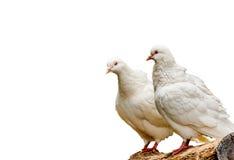 Mooie witte duif dichte omhooggaand op aardachtergrond Royalty-vrije Stock Foto