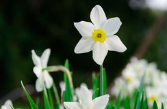 Mooie Witte en gele gele narcissen Gele en witte narcissen Stock Fotografie