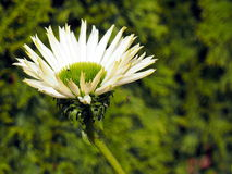Mooie witte en groene bloem Royalty-vrije Stock Foto