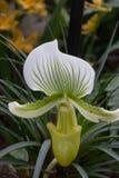 Mooie witte en groene orchidee stock fotografie
