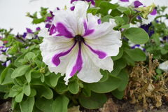 Mooie witte en purpere mengelingsbloem Royalty-vrije Stock Afbeelding