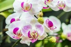 Mooie witte en purpere orchideeën, Phalaenopsis Royalty-vrije Stock Foto's