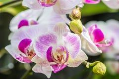 Mooie witte en purpere orchideeën, Phalaenopsis Stock Foto
