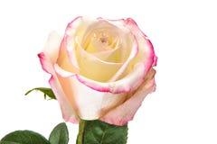Mooie Witte en Rode Rose Stems Geïsoleerde stock afbeelding
