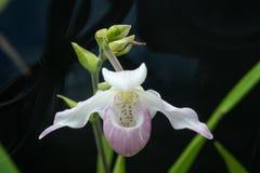 Mooie witte en roze orchidee stock afbeeldingen