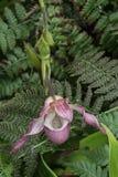 Mooie witte en roze orchidee stock foto