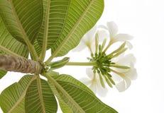 Mooie witte Frangipani-gefotografeerde cluster omhoog het kijken royalty-vrije stock foto
