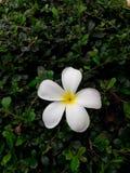 Mooie witte frangipanibloemen en groene bladeren Royalty-vrije Stock Afbeeldingen