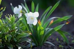 Mooie witte gele narcis Royalty-vrije Stock Afbeeldingen