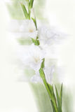 Mooie witte gladiolenbloem Royalty-vrije Stock Afbeeldingen