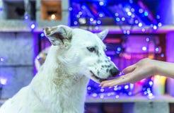 Mooie witte hond De foto van Kerstmis Gelukkig Nieuwjaar en Vrolijke Kerstmis Stock Foto