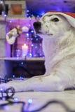 Mooie witte hond De foto van Kerstmis Gelukkig Nieuwjaar en Vrolijke Kerstmis Royalty-vrije Stock Foto