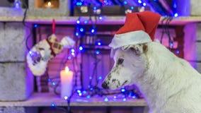 Mooie witte hond De foto van Kerstmis Gelukkig Nieuwjaar en Vrolijke Kerstmis Stock Foto's