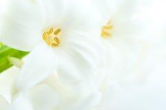 Mooie witte hyacint Royalty-vrije Stock Afbeeldingen