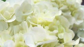 Mooie witte Hydrangea hortensia's Royalty-vrije Stock Foto's