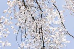 Mooie witte Japanse kersenbloesems of sakura Royalty-vrije Stock Foto