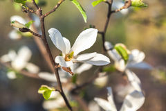 Mooie witte jasmijnbloem op tak stock foto