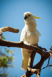 Mooie witte kaketoe Royalty-vrije Stock Fotografie