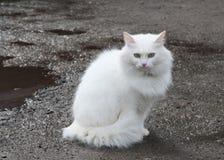Mooie witte kat Royalty-vrije Stock Afbeelding