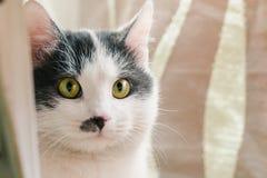 Mooie witte kat met grijze vlekken op het hoofd en de neus en groene ogen stock afbeeldingen