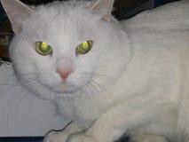 Mooie witte kat met groene ogenmening royalty-vrije stock foto