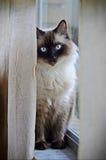 Mooie Witte Kat op Venstervensterbank Royalty-vrije Stock Foto