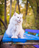 Mooie witte kattenzitting op blauwe lijst in Stock Afbeelding