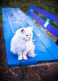 Mooie witte kattenzitting op blauwe lijst in Royalty-vrije Stock Fotografie