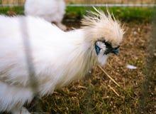 Mooie witte kip royalty-vrije stock afbeeldingen