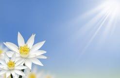 Mooie witte lotusbloembloem met natuurlijk Stock Afbeelding