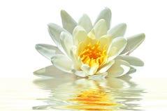 Mooie witte lotusbloembloem in water Royalty-vrije Stock Afbeeldingen