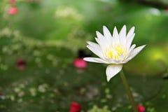 Mooie witte lotusbloembloem of waterlelie die op vijver bloeien Stock Afbeelding
