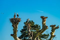 Mooie witte ooievaars in het nest op blauwe hemel backgroung, sprin Royalty-vrije Stock Foto's