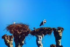 Mooie witte ooievaars in het nest op blauwe hemel backgroung, sprin Royalty-vrije Stock Afbeeldingen