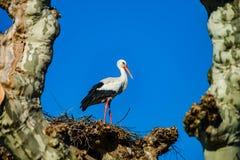 Mooie witte ooievaars in het nest op blauwe hemel backgroung, sprin Stock Afbeelding