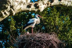 Mooie witte ooievaars in het nest op blauwe hemel backgroung, sprin Stock Foto's