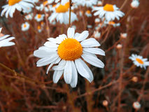 Mooie witte oranje bloem Stock Fotografie