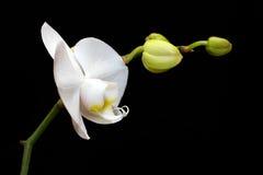 Mooie witte orchidee Stock Foto