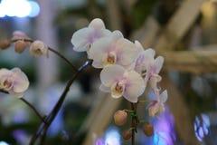 Mooie witte orchidee Royalty-vrije Stock Afbeelding