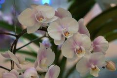 Mooie witte orchidee Royalty-vrije Stock Afbeeldingen