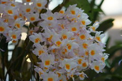Mooie witte orchidee Royalty-vrije Stock Foto