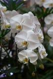Mooie witte orchidee Stock Afbeelding