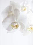 Mooie witte orchideebloem Royalty-vrije Stock Foto's