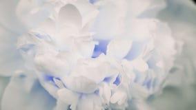 Mooie witte Pioenachtergrond Bloeiende open pioenbloem, tijdtijdspanne, close-up Huwelijksachtergrond, de Dag van Valentine stock footage