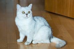 Mooie witte pluizige Britse kat met groene ogen die op de parketvloer zitten Royalty-vrije Stock Afbeeldingen