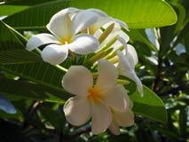 Mooie witte Plumeria Stock Afbeelding