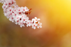 Mooie witte pruimbloesems in warm licht Royalty-vrije Stock Afbeeldingen