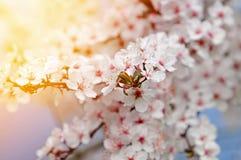 Mooie witte pruimbloesems in warm licht stock foto